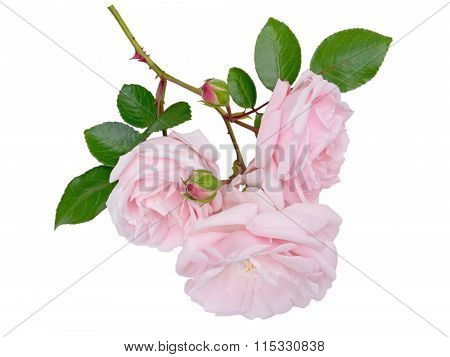 Tender Pale Pink Rose Flowers Isolated On White