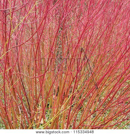 Red Cornus Stems in Winter