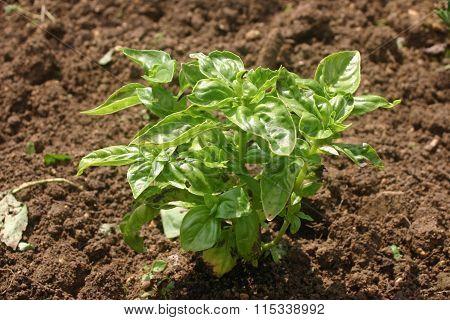 Herb basil