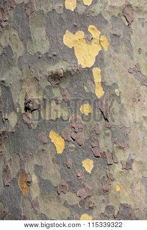 Close up of bark of platan tree