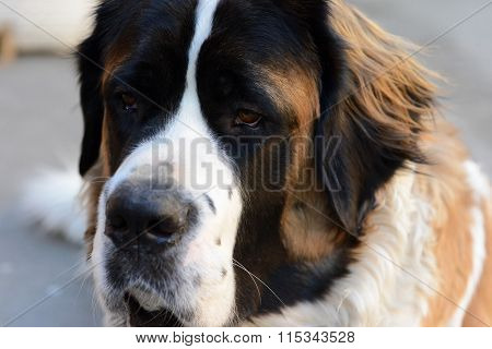 The Dog Looks. Breed Moscow Watchdog