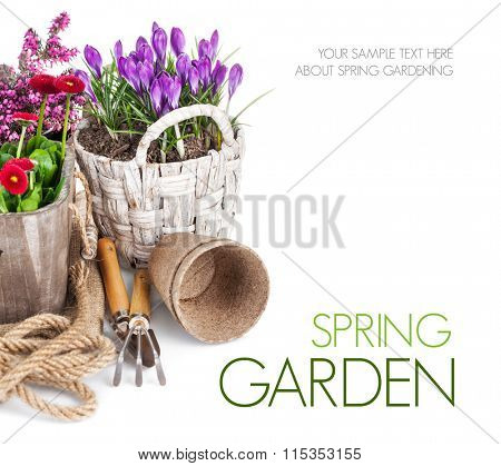 Spring flowers in basket with tools for gardening. Isolated on white background