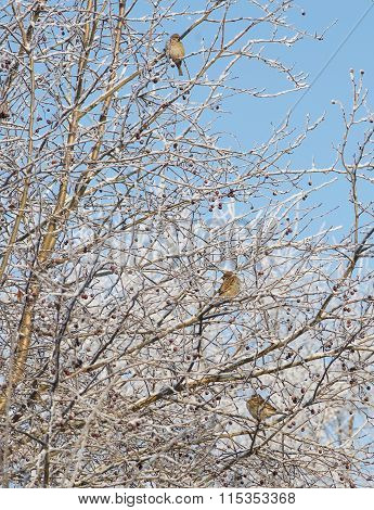 Frozen branch of tree covered with winter frost and three sparrows in it