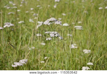 Healing Herb Yarrow Closeup