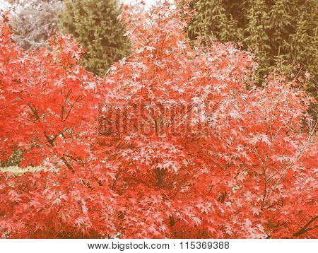 Retro Looking Red Maple Tree