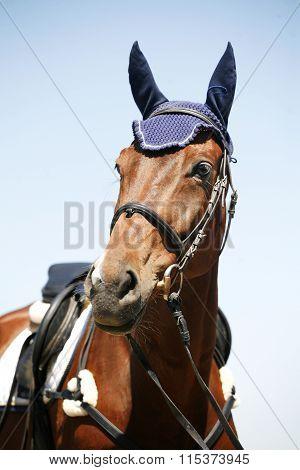 Head Of A  Beautiful Purebred Sporting Horse
