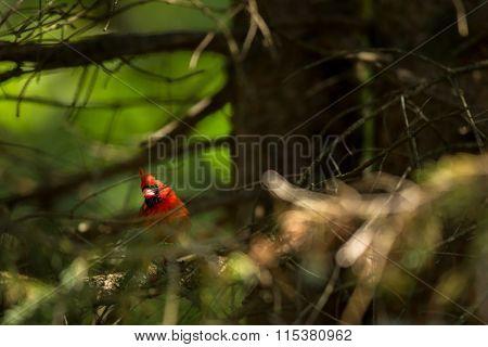 Northern cardinal (Cardinalis cardinals)