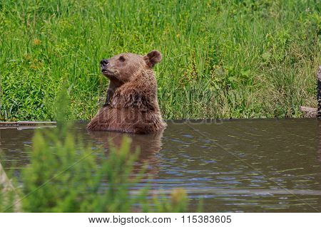 Brown bear with forest landscape