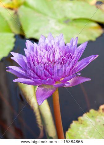 Lotus Blossom,