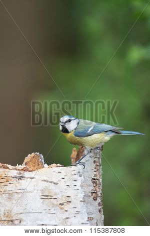 Eurasian blue tit in forest at tree trunk