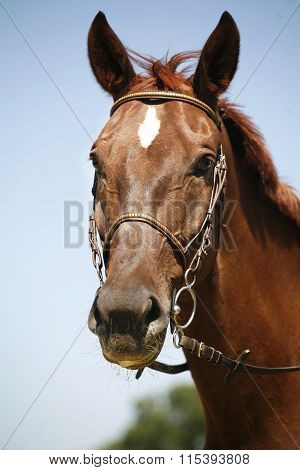 Head Shot Of A Sportive Chestnut Saddle Horse
