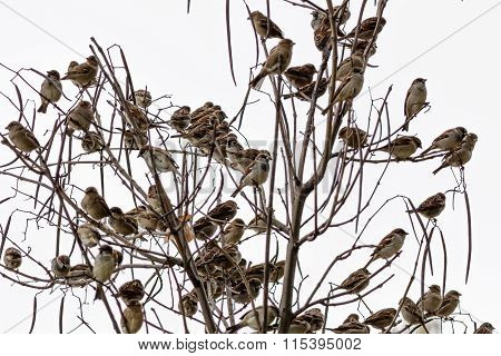 Sparrows Isolated On A White Background. Numerous Sparrows Isolated On A White Background Sitting Ov