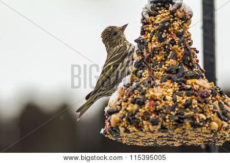 Pine Siskin (spinus Pinus) Feeding
