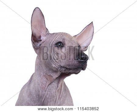 Mexican Hairless Dog, Xoloitzcuintli