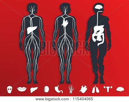 vector illustration of the internal organs