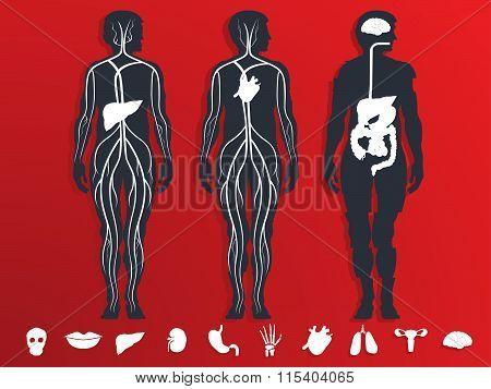 vector illustration of the internal organs