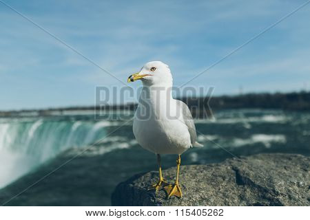seagull standing on Niagara Falls, Canada side.