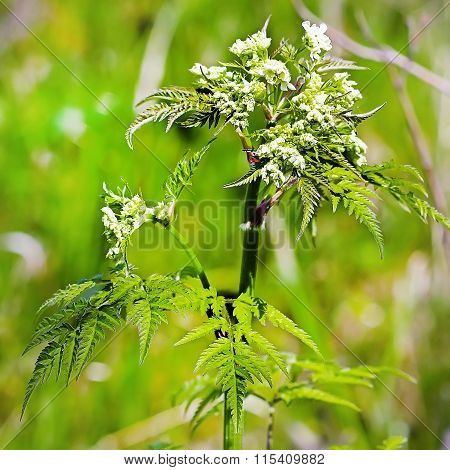 Copyri Forest (anthriscus Sylvestris) Is A Biennial Herbaceous Plant, A Species Of Copyri (anthriscu