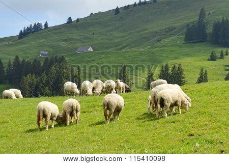 sheep feeding grass on hill in Appenzell Switzerland