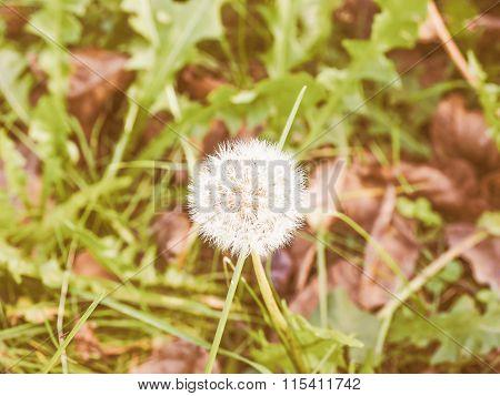 Retro Looking Dandelion Flower