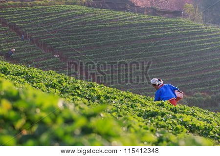 Chiangmai Thailand - Jan 11 : Strawberries Farmer Harvesting Organic Fresh Strawberry In Angkhang Pl