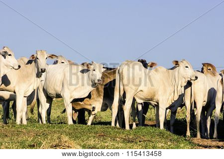 Cattle outdoor on a farm day