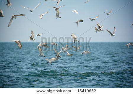 Seagulls Darted Into The Sea To Eat Anchovy, After Whale Hunt Anchovy And Then Diving Below. The Beh