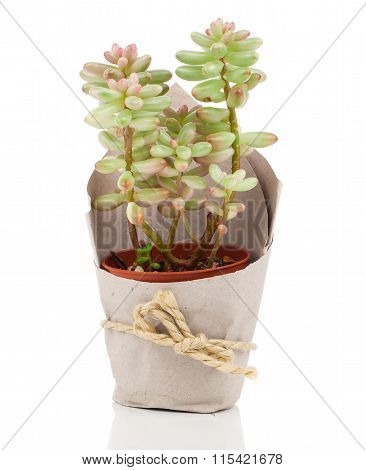 Adromischus Houseplant In Paper Packaging, On A White Background.