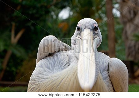 Pelican (disambiguation) portrait, Gyps fulvus