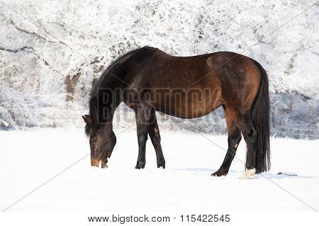 Pregnant Mare In Snow