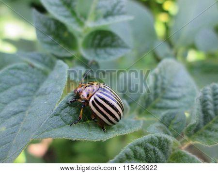 ?oloradi beetle