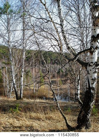 Early Spring Landscape With Birches