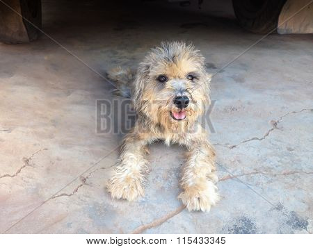 Lovely Dirty Smiling Miniature Schnauzer Dog On Old Cement Floor