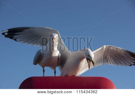 Two seagulls standing together