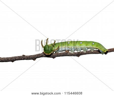 Caterpillar Of Tawny Rajah Butterfly On White