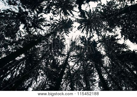 Lines Of Tall Spruce From Bottom View