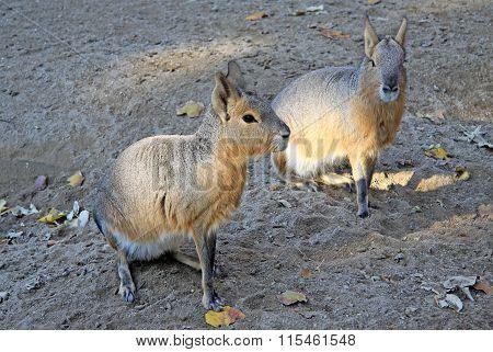 Barcelona, Catalonia, Spain - December 12, 2011: Patagonian Maras - (dolichotis Patagonum)