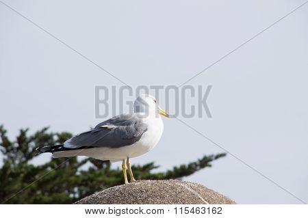 Fearless big bird Seagull