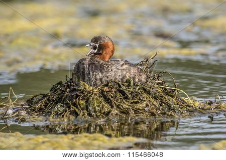 Little grebe Tachybaptus ruficollis on its nest