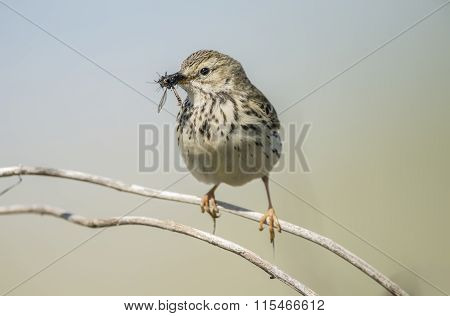 Meadow pipit sitting on a twig with bugs in its beak