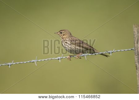 Meadow pipit sitting on barbed wire with bugs in its beak
