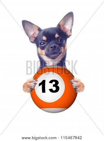 Cyte Chihuahua Dog Have A Billiard Ball Between The Legs With Unlucky Number 13