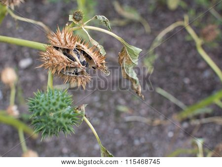 Thorn Apple Weed