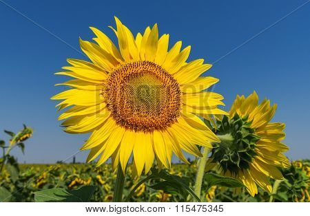flower of sunflower on field and deep blue sky