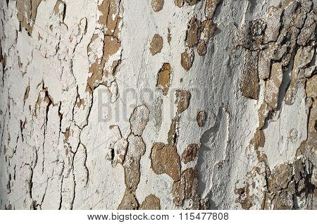 White Tree Bark