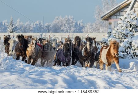Herd of miniature horses galloping on walk