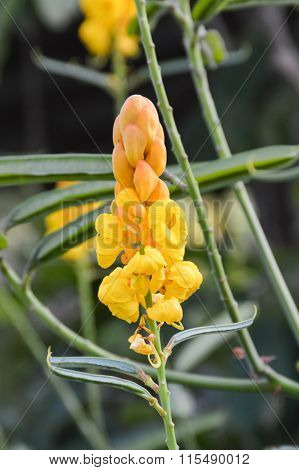 yellow Ringworm Bush flower in garden