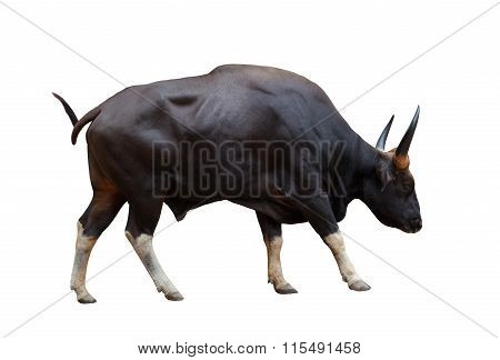 Full Body Side View Of Wild Male Gaur With Sharpen Horn Isolated White Background