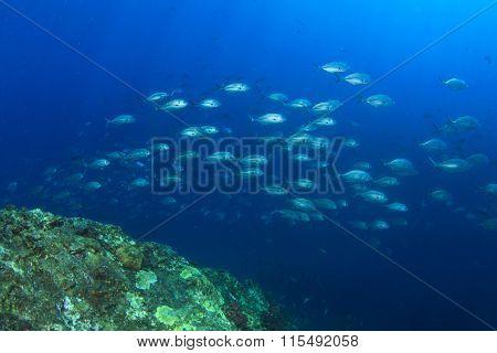 School of Bigeye Trevally fish beside coral reef