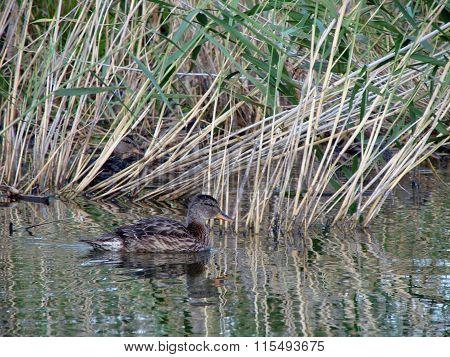 Duck Anas Plathyrhynchos